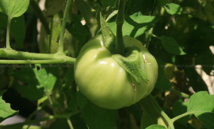 greentomatoe-2